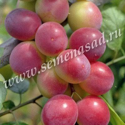Слива русская (Алыча) Найдена (ранний, плод красный)