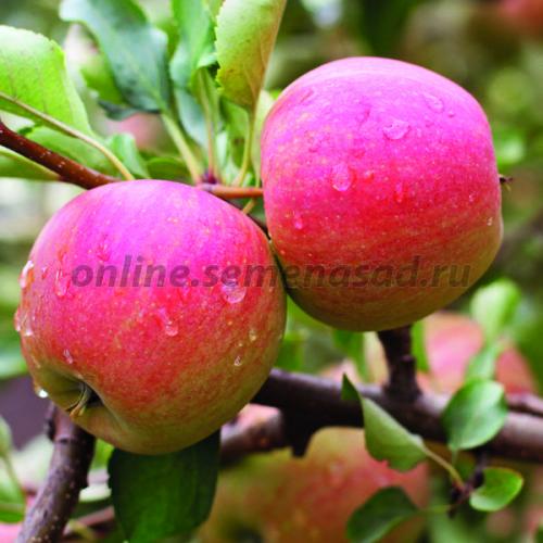 Яблоня Мечта (подвой 54-118, полукарликовый) (2-х лет) (летний, плод зеленовато-бело-желтый с розово-красным румянцем в виде штрихов)