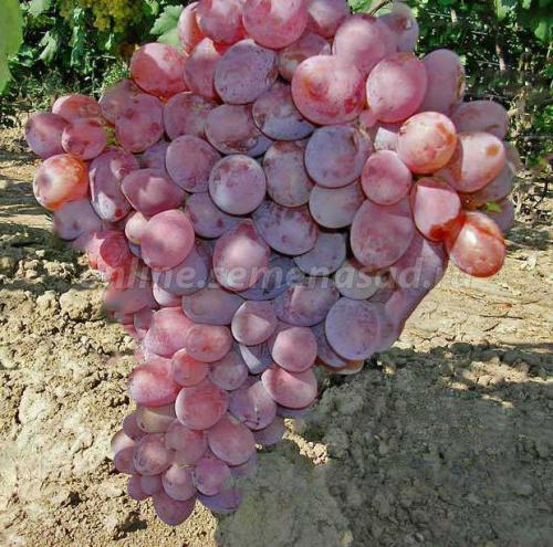 Виноград плодовый Граф Монте-Кристо (раннесредний, ягода овальная, бордовая, очень крупная)