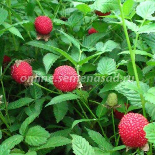 Малина земляничная (тибетская) (в упаковке) (плоды красного цвета)