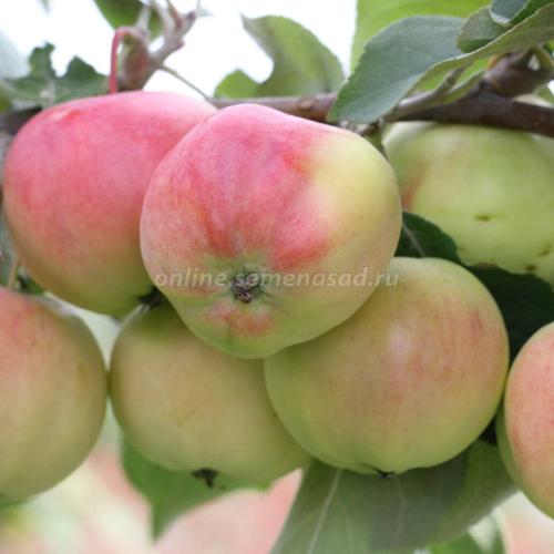 Яблоня карликовая Павлуша (в коробке) (позднелетний, плод зелен.-желтый с малиновым размытым румянцем)