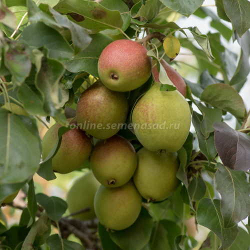 Груша Полюшко (в коробке) (осенний, плод зеленовато-желтый)