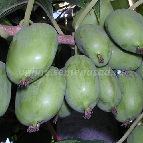 Актинидия аргута Киевская крупноплодная (женский, плод светло-зеленый, созр. в серед сентября)