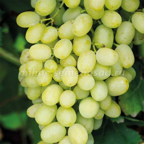 Виноград плодовый Долгожданный (очень ранний, ягода яйцевидная, желтая, крупная)