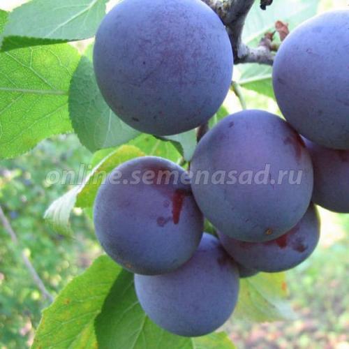 Слива Яичная синяя (в коробке) (средний, плод красный с сильным восковым налетом)