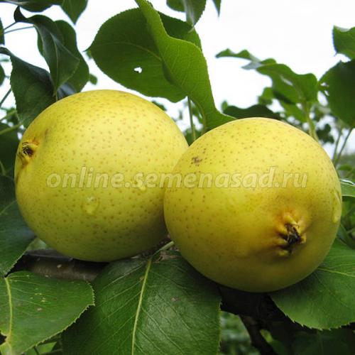 Груша Талица (в коробке) (летний, плод светло-желтый)
