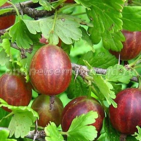 Крыжовник Сеянец Смены (среднепоздний, ягода зеленовато-розовая с восковым налетом)