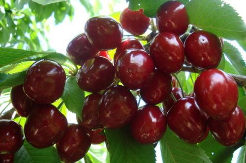 Черешня Велка (2-х лет) (среднепоздний, плод темно-красный)