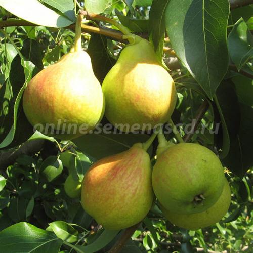Груша Заречная (в коробке) (раннеосенний, плод золотисто-желтый с румянцем)