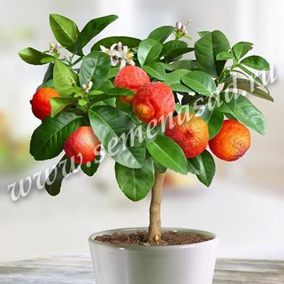 Цитрус Лиметта Россо (гибрид мандарина и лайма, размер плодов 7-8 см)