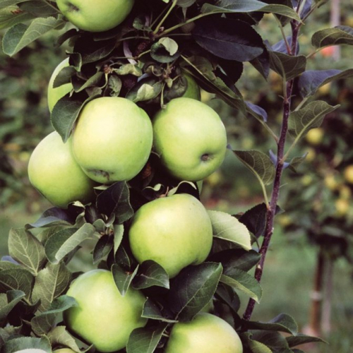 Яблоня колонновидная Лукомор (в коробке) (зимний, плод зеленый)