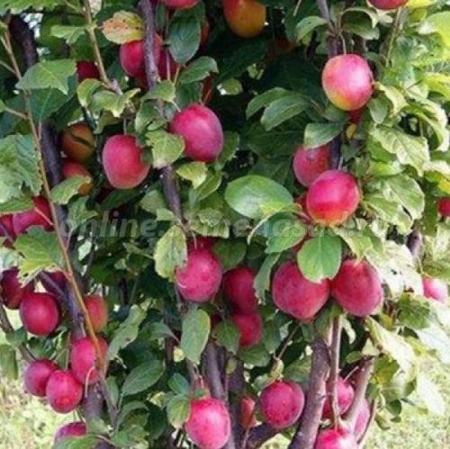 Слива русская (Алыча) пирамидальная Империал (среднепоздний, плод фиолетово-розовый)