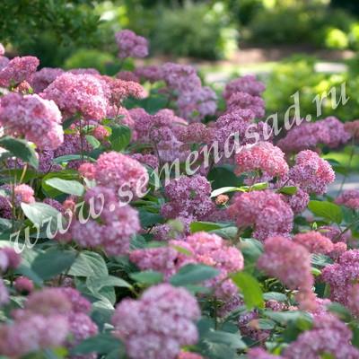 Гортензия древовидная Люкс Инвинсибел (цветки розовые, соцветия крупные)