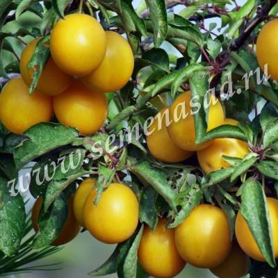 Слива русская (Алыча) Злато Скифов (очень ранний, плод желтый, крупный)
