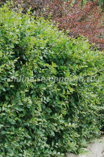 Кизильник блестящий,  3шт в наборе, Зеленая изгородь