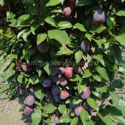 Слива русская (Алыча) пирамидальная Блю Свит (среднепоздний, плод темно-фиолетовый)