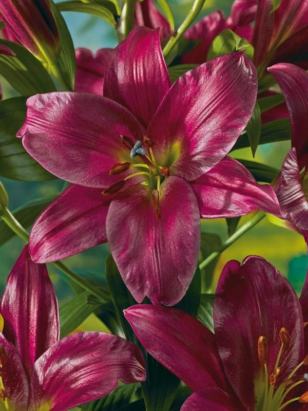 очередной раз лилия фиолетовый принц фото сада