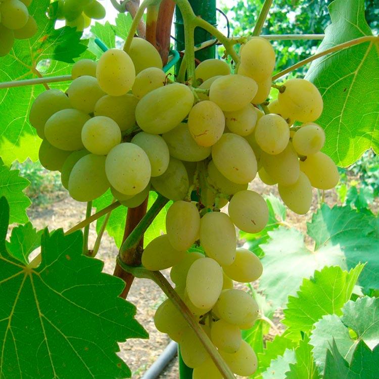 что виноград русский янтарь фото старости