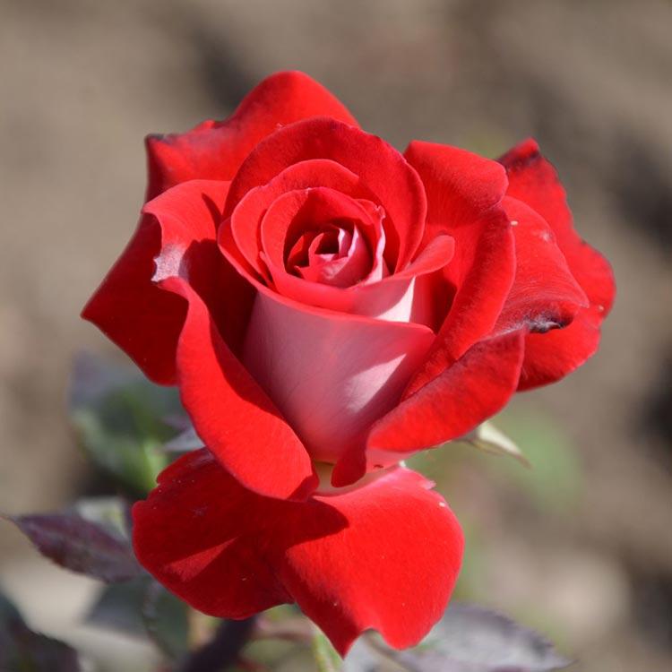 Роза люксор картинки