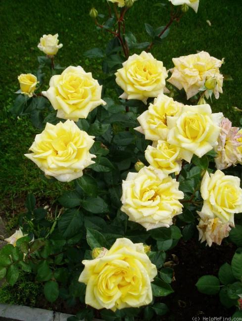 роза сорт ландора фото и описание кучугуры это федеральный