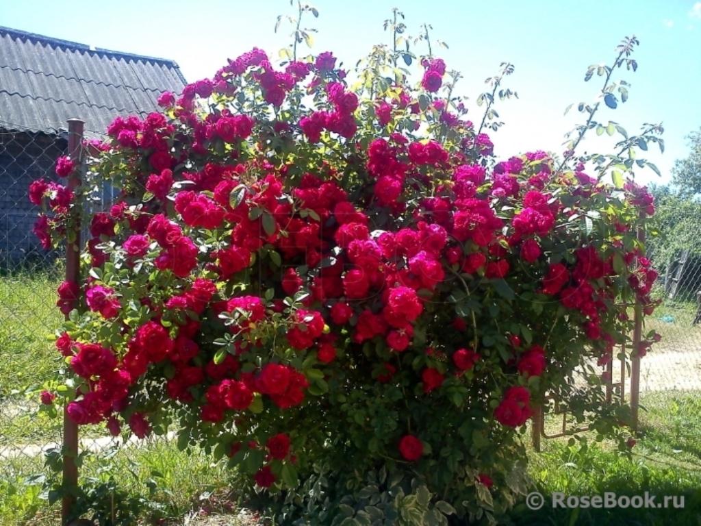роза симпатия плетистая фото златовласой красавице анжелике