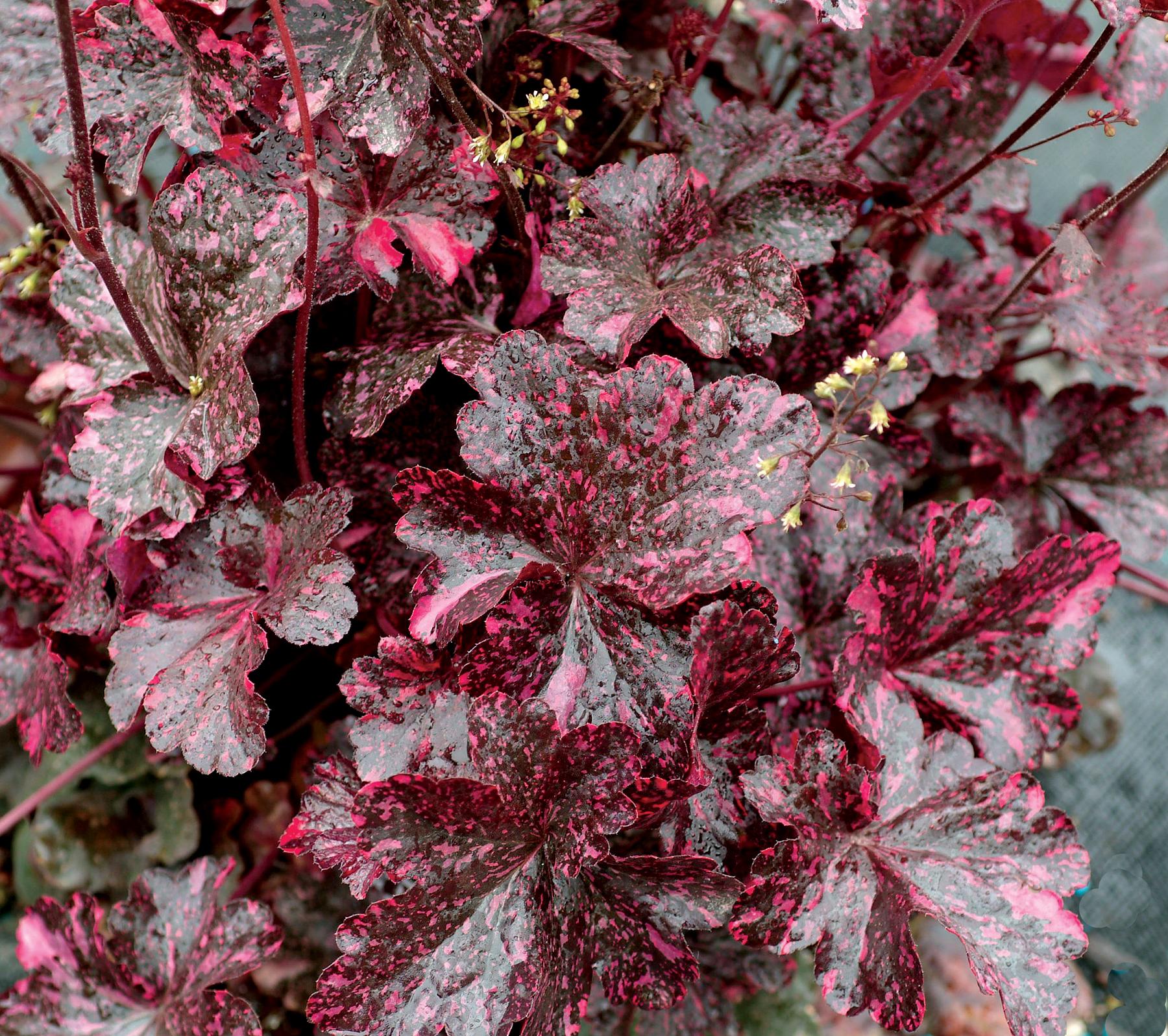 цветы с бордовыми листьями фото вариант