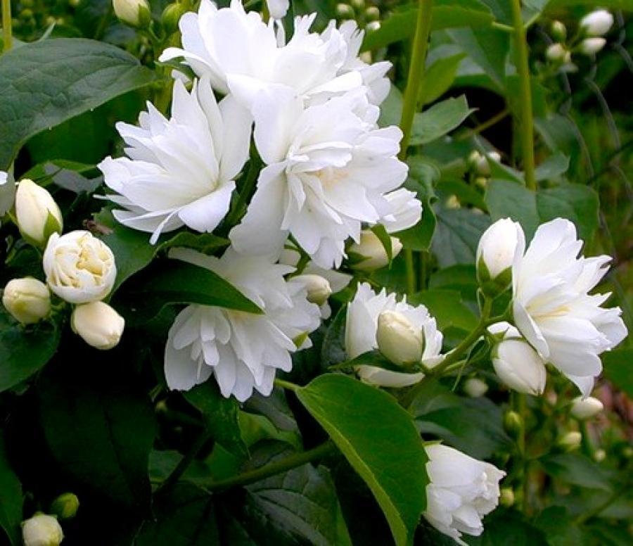 Израильская, цветки жасмина купить москва