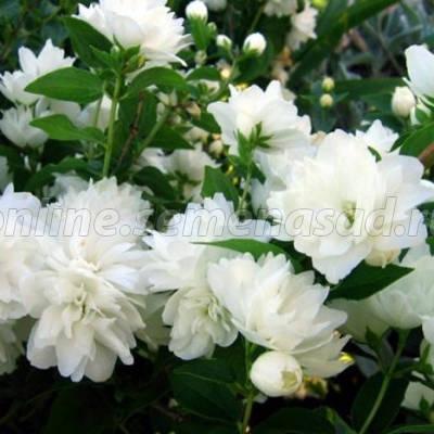 Жасмин садовый (Чубушник) Менто Д'эрмин