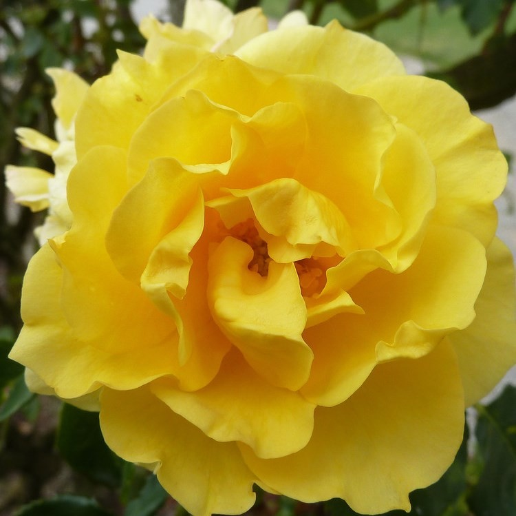 фото Плетистая описание казино роза