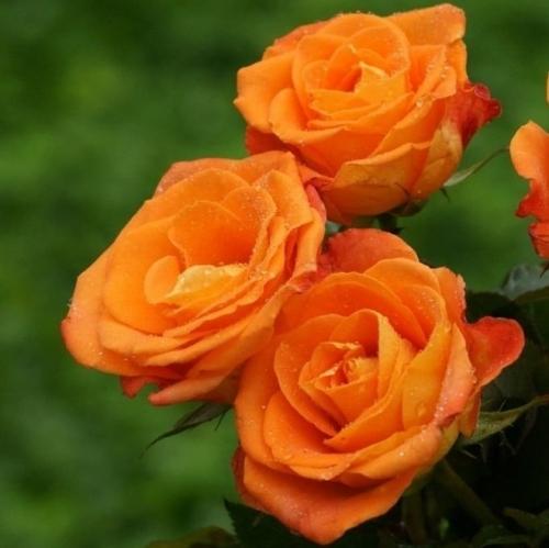 Baby Orange (Оранж Бэбби) 013
