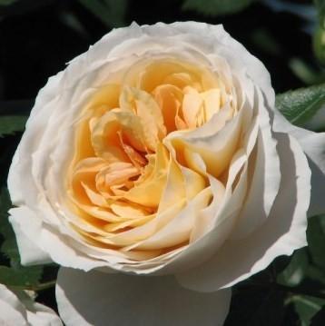 Lions Rose (Лионс Роуз) 055