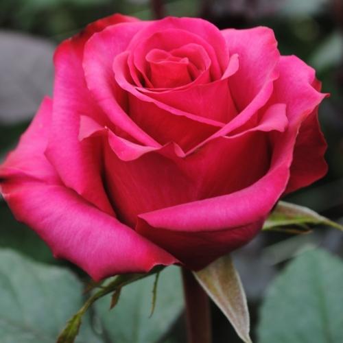 Roseberry (Розберри) 182