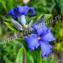 Клематис борщевиколистный Кассандра (голубой, ароматный)