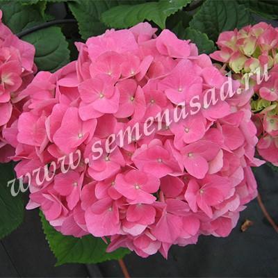 Гортензия крупнолистовая Розита (цветки розовые)