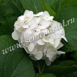 Гортензия крупнолистовая Соер Терез (цветки белые)