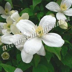Клематис ботанический Альба (белый)