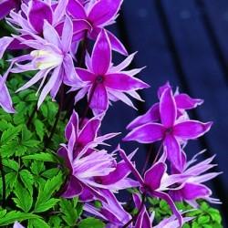 Клематис ботанический (Серия Северный сад) Маркхемс Пинк (пурпурно-розовый, полумахровый)