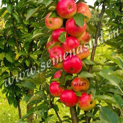 Яблоня колонновидная Арбат (в коробке) (раннеосенний, бордово-красный блестящий)