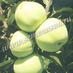 Яблоня колонновидная Медок (в коробке) (позднелетний, желтый)