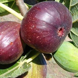 Инжир Браун Туркей (партенокарпик, плоды грушевидной формы, красно-коричневого цвета)