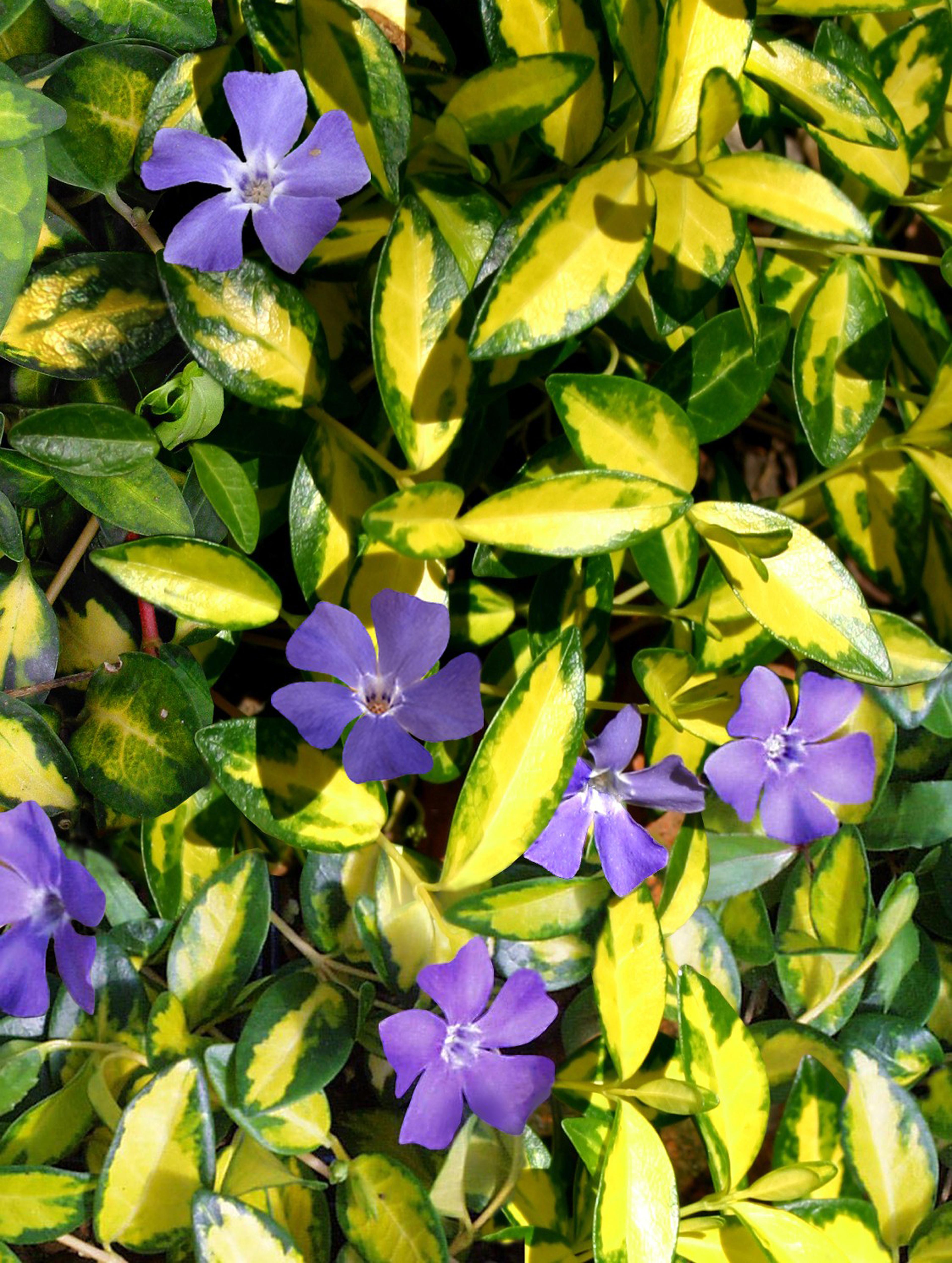 описание и фото цветка барвинок бесплатная доставка продуктов