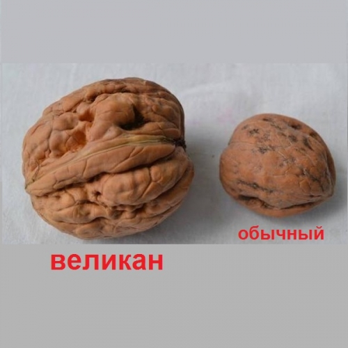 грецкий орех Великан в скорлупе
