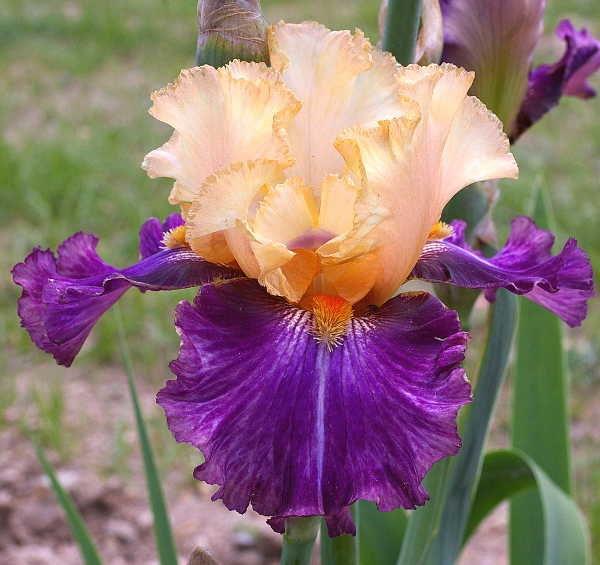 Восточный ирис оптом цветы