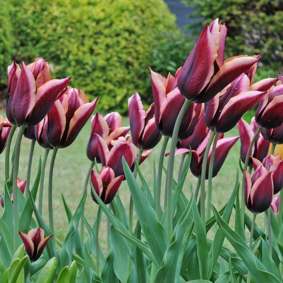 Тюльпаны триумф сорта и фото