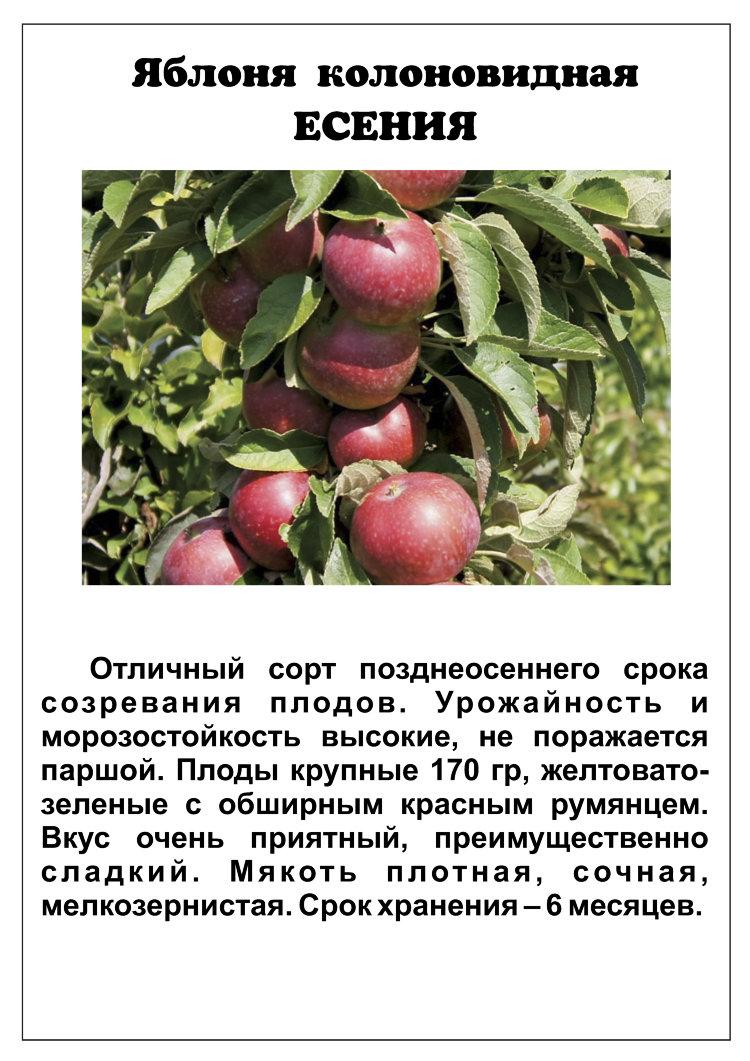 Колоновидная яблоня орловская описание с фото