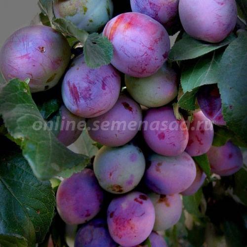 Слива Этюд (средний, красно-фиолетовый)