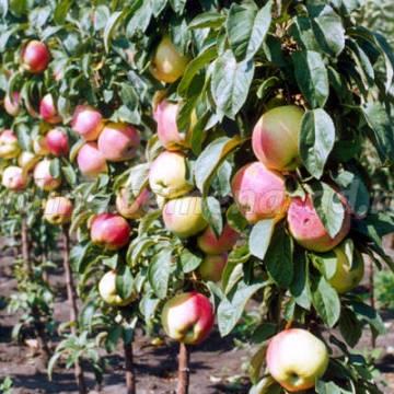 Яблоня колонновидная Валюта (зимний, желтый с румянцем)