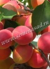 Абрикос Саратовский Рубин (среднеранний, оранжевый)