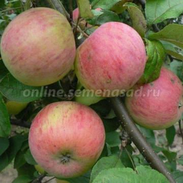 Яблоня Осеннее полосатое (Штрейфлинг) (осенний, зелен.- желт с оранж-кр размытыми полосами)