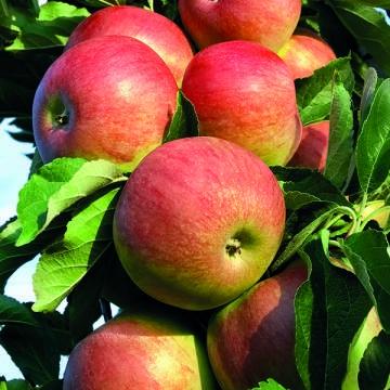 Яблоня колонновидная Икша (осенний, желтый с красно-полосатым румянцем)